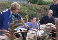 Lambs at Lon Lodges farm, Powys, Mid Wales